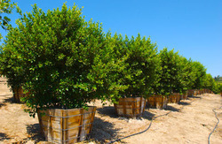 Pardee Tree Nursery From Usa 36 Ilex X Altaclerensis Wilsonii