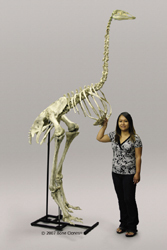 Articulated Elephant Bird Skeleton
