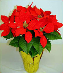 ... Floor Trader Virginia Beach By Potted Silk Poinsettia Plants  Manufacturer And Trader ...